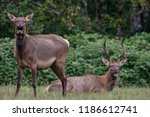 elk in field | Shutterstock . vector #1186612741