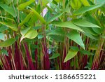 lush green and red combination... | Shutterstock . vector #1186655221