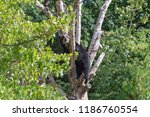 a captive andean  also known as ...   Shutterstock . vector #1186760554