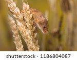 micromys minutus or harvest... | Shutterstock . vector #1186804087