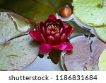 rare red lily  blooming lotus ... | Shutterstock . vector #1186831684