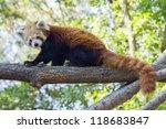 Red Panda Or Lesser Panda ...