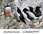 summer plumage puffin on cliff... | Shutterstock . vector #1186869997