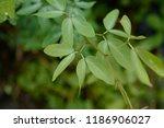 madras thorn  pithecellobium... | Shutterstock . vector #1186906027