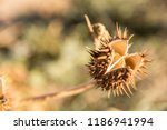 Dried Thistle Flower