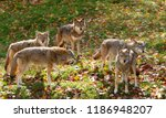 Coyote Pack  Canis Latrans ...