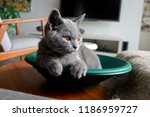 british blue  british shorthair ... | Shutterstock . vector #1186959727