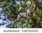ring tailed lemurs in a tree in ... | Shutterstock . vector #1187014321