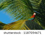 big red parrot red and green...   Shutterstock . vector #1187054671