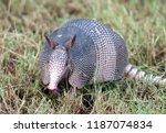 an armadillo  dasypus... | Shutterstock . vector #1187074834