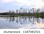 reflections of dead tree trunks ... | Shutterstock . vector #1187081521