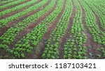 steps of green lettuce... | Shutterstock . vector #1187103421