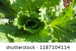 close up green leaf lettuce | Shutterstock . vector #1187104114