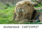 two lion brothers rubbing heads ... | Shutterstock . vector #1187155927