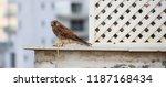 common kestrel a bird of prey... | Shutterstock . vector #1187168434