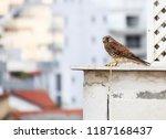 common kestrel a bird of prey... | Shutterstock . vector #1187168437