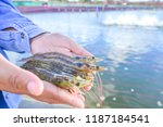 raw fresh pacific white shrimp  ... | Shutterstock . vector #1187184541