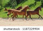 young arabian thoroughbred... | Shutterstock . vector #1187229904