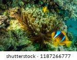Small photo of Clown fish (Nemo)