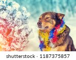 portrait of a dog entangled in...   Shutterstock . vector #1187375857