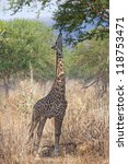 Wild Giraffe In The Savannah I...