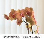 Phalaenopsis Orchid Against A...