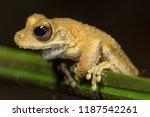 kuranda tree frog  litoria... | Shutterstock . vector #1187542261