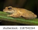 kuranda tree frog  litoria... | Shutterstock . vector #1187542264