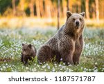 Small photo of She-bear and bear-cub. Cub and Adult female of Brown Bear in the forest at summer time. Scientific name: Ursus arctos.