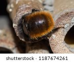 solitary bee  at insect hotel   Shutterstock . vector #1187674261