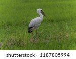 asian openbill scientific name  ... | Shutterstock . vector #1187805994