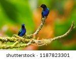 velvet purple coronet ... | Shutterstock . vector #1187823301