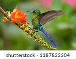violet tailed sylph ... | Shutterstock . vector #1187823304