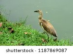many species of birds are at... | Shutterstock . vector #1187869087