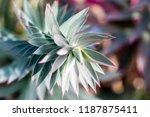 closeup of myrtle spurge or... | Shutterstock . vector #1187875411