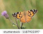 Stock photo a painted lady butterfly vanessa cardui feeding on a thistle flower against a blurred natural 1187922397