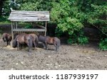Four Brown Ponies Feed Dry...