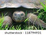 Stock photo a giant galapagos turtle galapagos islands ecuador south america 118794931