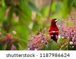 bloody red colored songbird ... | Shutterstock . vector #1187986624