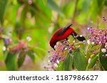 bloody red colored songbird ... | Shutterstock . vector #1187986627