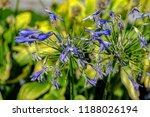 blue flowers of blooming... | Shutterstock . vector #1188026194