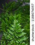 green leatherleaf fern... | Shutterstock . vector #1188076057
