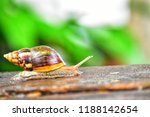 side view one helix pomatia... | Shutterstock . vector #1188142654