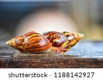side view two helix pomatia... | Shutterstock . vector #1188142927