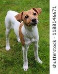 jack russel puppy | Shutterstock . vector #1188146671