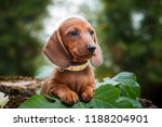 Stock photo cute dachshunds puppy with nature background 1188204901