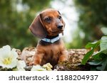 Stock photo cute dachshunds puppy with nature background 1188204937