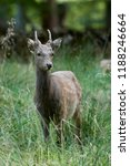 sika deer  cervus nippon  in... | Shutterstock . vector #1188246664