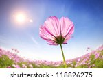 Beautiful Daisies On The...