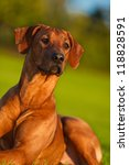 beautiful dog rhodesian... | Shutterstock . vector #118828591